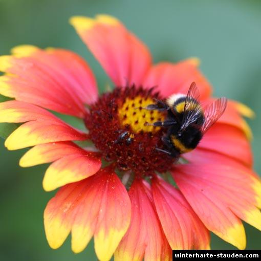 hummel auf kokardenblume