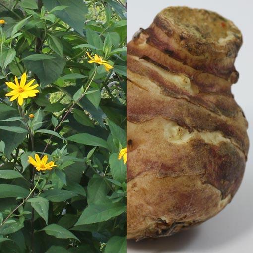 Helianthus tuberosus (Topinambur)