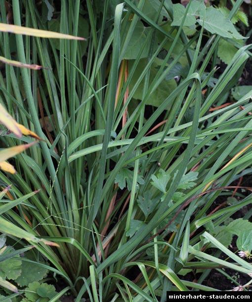 Kleine Taglilie