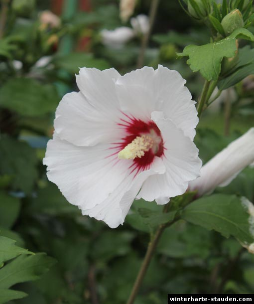 Gartenhibiskus (Hibisc...
