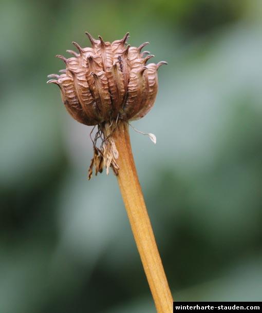 Trollblume-Samen