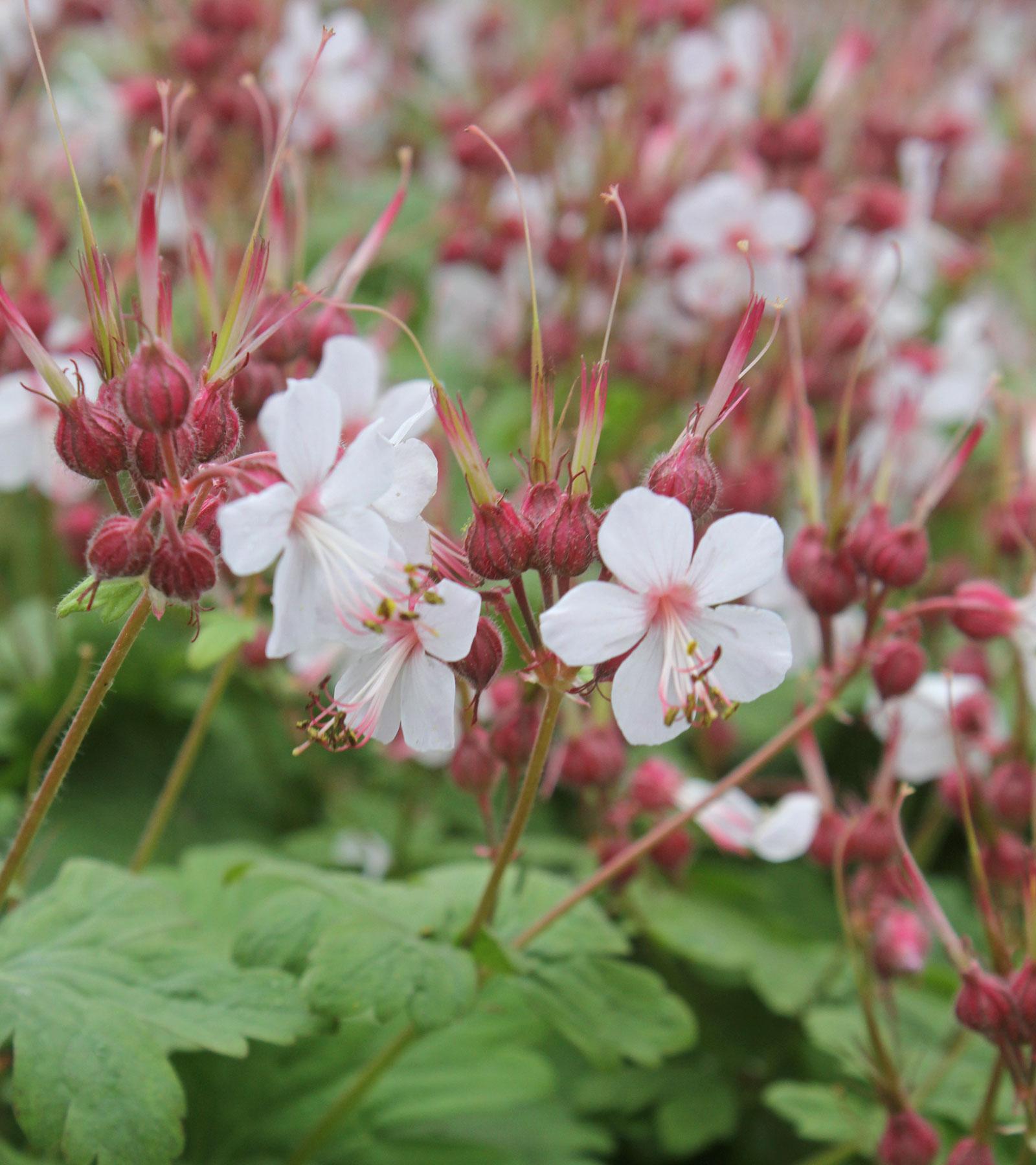 balkan storchschnabel geranium macrorrhizum