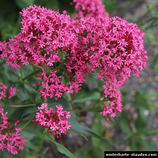 Rote Stauden Winterhart : rote spornblume centranthus ruber ~ Michelbontemps.com Haus und Dekorationen