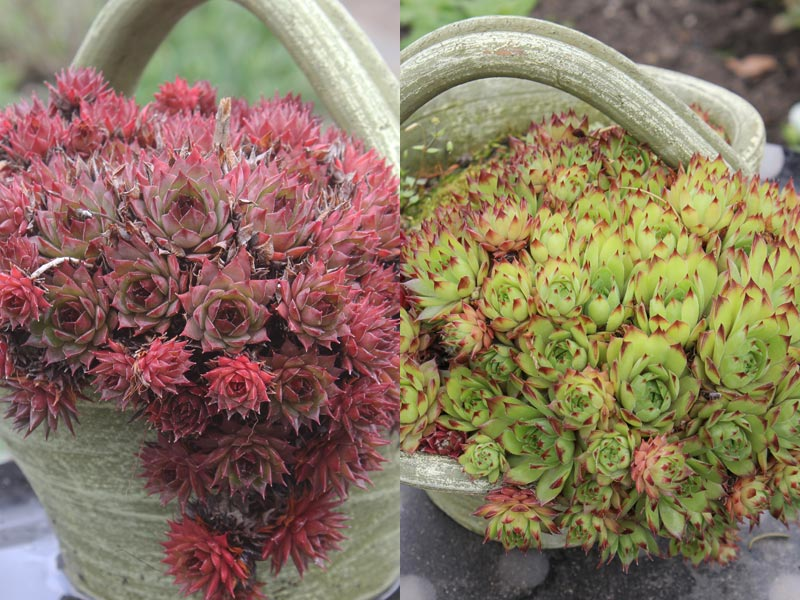 Sempervivum-Hybride