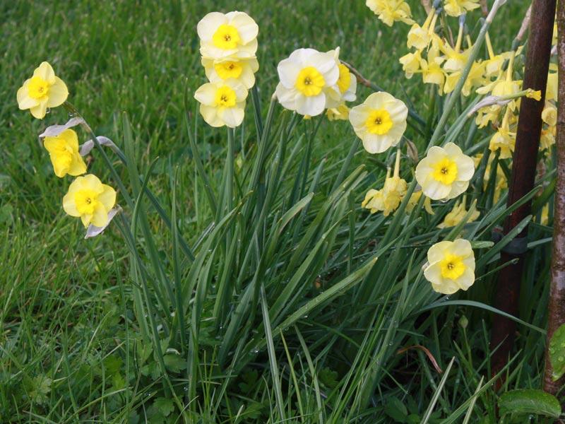 Narcissus jonquilla Sun Disc