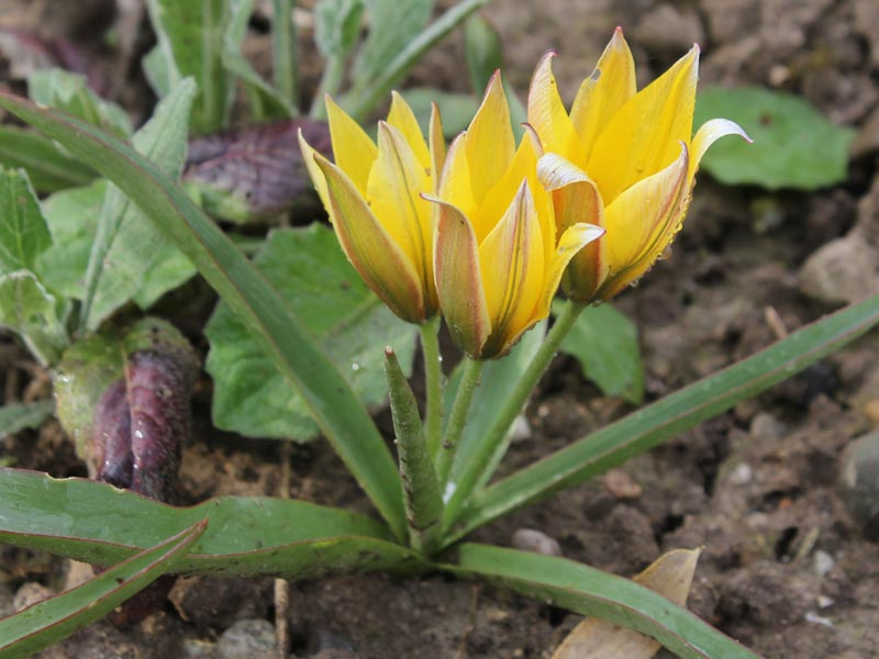 Stern-Tulpe