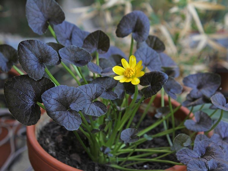 Ranunculus ficaria Brazen Hussy
