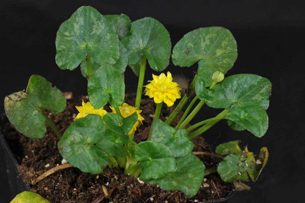 Ranunculus ficaria Flore Pleno