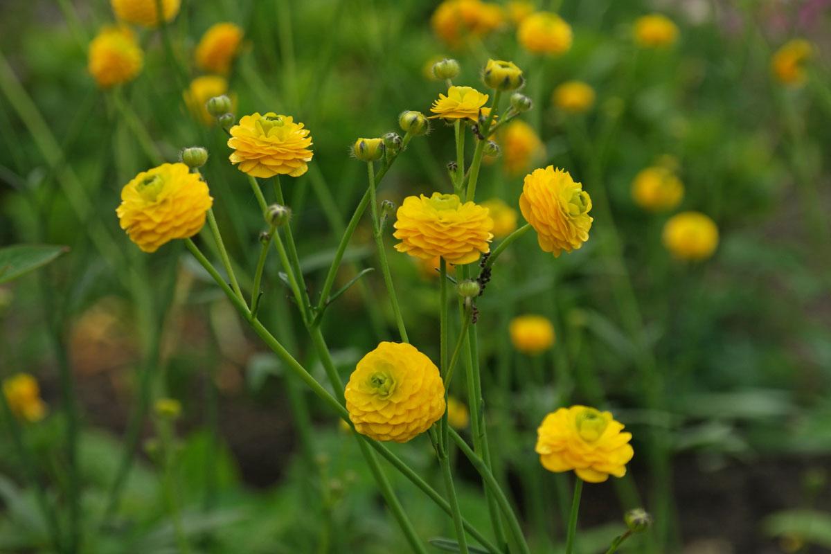 Ranunculus-acris-Multiplex