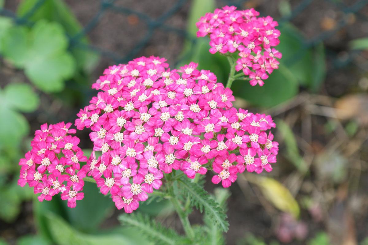Achillea millefolium Christel