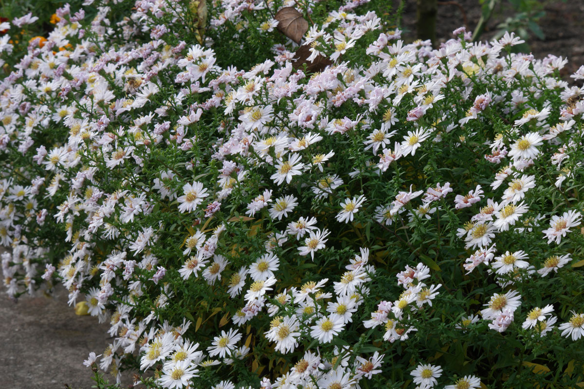 Herbst-Aster