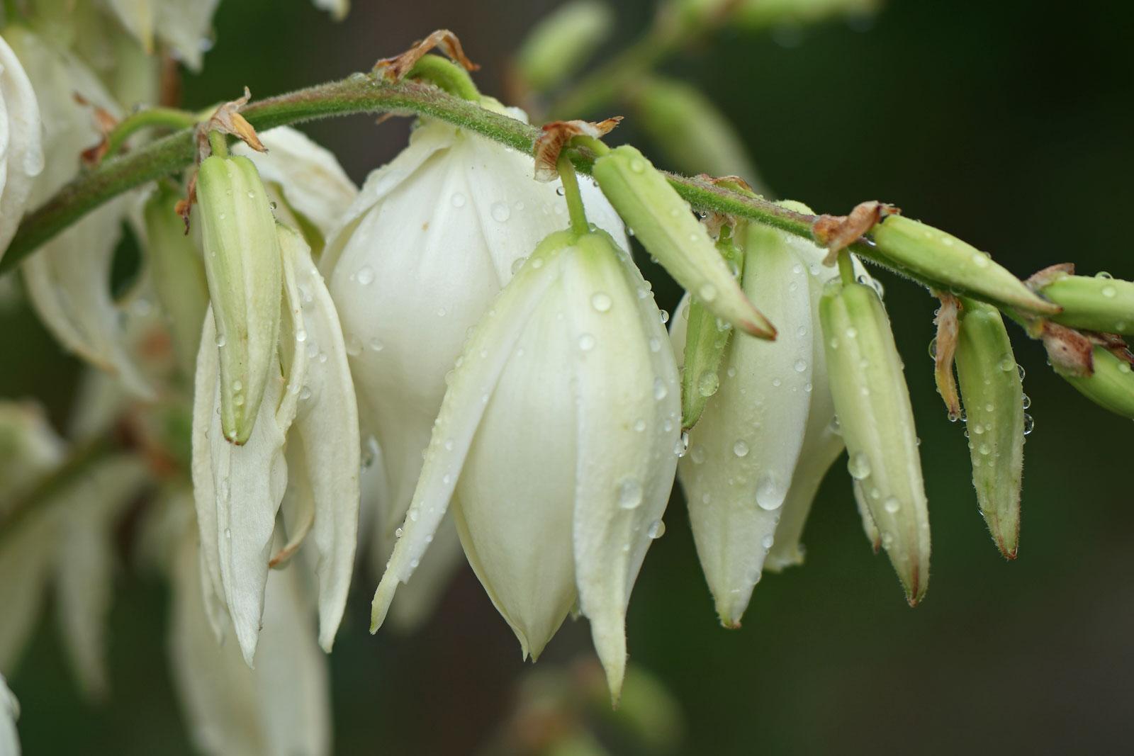 Yucca-Blüten